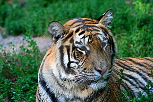 Tiger Royalty Free Stock Photography - Image: 6096127