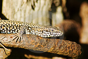 Basking Lizard In Close Up Stock Photo - Image: 6096170