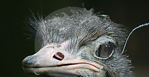 Ostrich Stock Photos - Image: 6096373