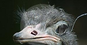 Ostrich Stock Photos - Image: 6096373