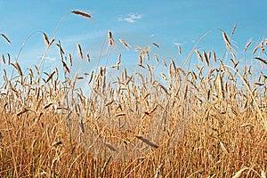 Wheat Field. Royalty Free Stock Photos - Image: 6096978