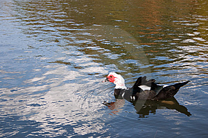 Ugly Duckling Royalty Free Stock Images - Image: 6097579