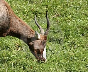 Antelope Stock Photos - Image: 611953