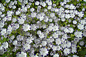 Nemophila Flowers In Bloom Stock Photo - Image: 6111290