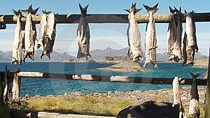 Lofoten's Stockfish Royalty Free Stock Image - Image: 6112256