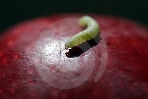 Apple Worm Stock Photo - Image: 6112400
