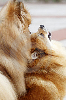 Pomeranian Stock Photography - Image: 6115962