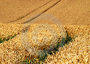 Wheat Crop Royalty Free Stock Photos - Image: 6117298