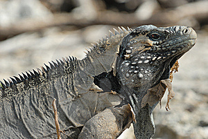Wild Iguana Royalty Free Stock Photography - Image: 6123967