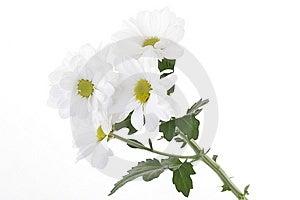 White Daisies Royalty Free Stock Image - Image: 6124346