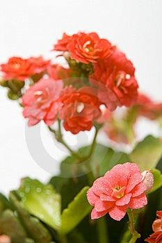 Rosette Royalty Free Stock Image - Image: 6127316
