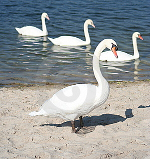 Swan Formation Stock Photo - Image: 6128100