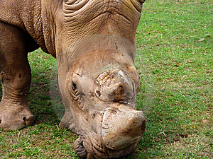 White Rhino Royalty Free Stock Photos - Image: 6131998