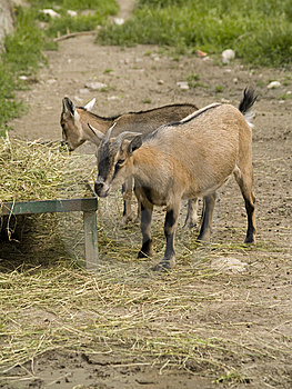 Goats Stock Photography - Image: 6132042