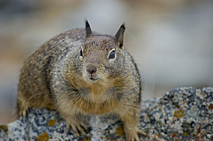 Curious Squirrel Royalty Free Stock Photo - Image: 6132175