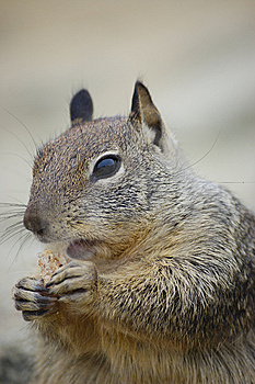 Squirrel Eating A Biscuit Stock Image - Image: 6132241