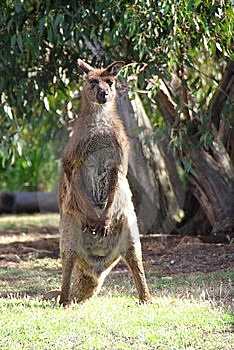 Standing Kangaroo Stock Photos - Image: 6134293