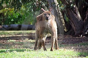Grumpy Kangaroo Glaring Stock Photos - Image: 6134303