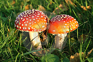Toadstools Royalty Free Stock Photo - Image: 6136885