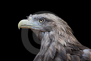 Bird Of Prey. Stock Photo - Image: 6144690
