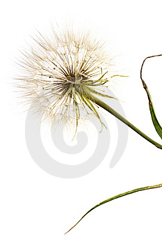 Dandelion Royalty Free Stock Photos - Image: 6145208