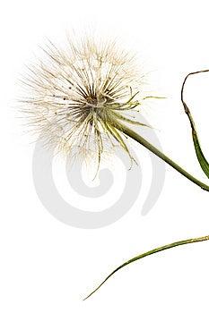Dandelion Royalty Free Stock Photos - Image: 6145208