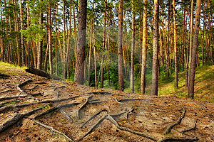 Great Coniferous Forest Stock Image - Image: 6146301