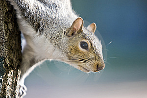 Squirrel Decending A Tree Royalty Free Stock Photography - Image: 6153917