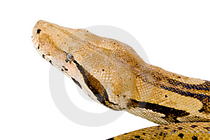 Head Of A Boa Stock Images - Image: 6167394