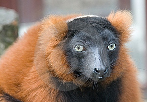 Red Lemur Stock Images - Image: 6172404