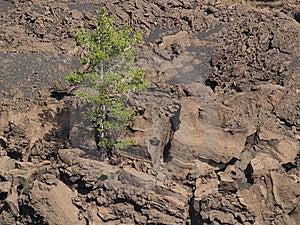 Tree On Volcano Stock Image - Image: 6178151