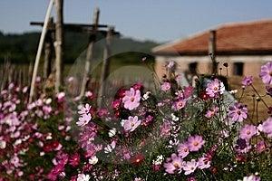 Calliopsis Royalty Free Stock Image - Image: 6184746