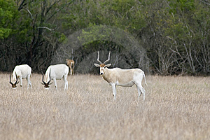 Antelopes Grazing In A Field Stock Photo - Image: 6185450