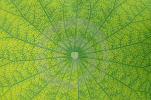 Lotus Leave Background Stock Photos - Image: 6190013
