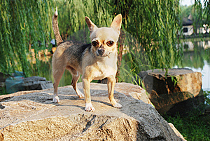 A Lovely Little Chihuahua Dog Royalty Free Stock Image - Image: 6190106