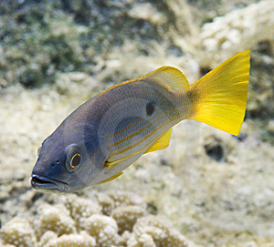 Onespot Snapper Royalty Free Stock Image - Image: 6194326