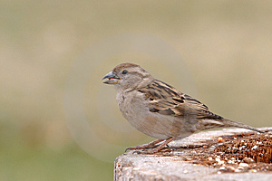 Portrait Of Hungry Sparrow Royalty Free Stock Photos - Image: 626478