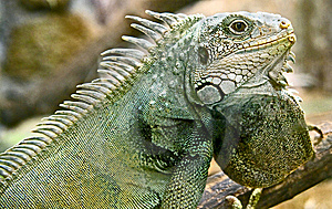 Iguana 15 Royalty Free Stock Photography - Image: 6208287