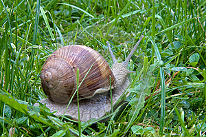 Big Snail  On A Green Grass Royalty Free Stock Image - Image: 6218426
