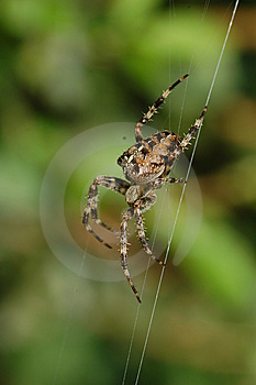 Cross Spider Stock Photos - Image: 6225853