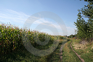 Corn Field Royalty Free Stock Images - Image: 6226819