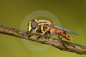 Macro Of Hoverfly Royalty Free Stock Photo - Image: 6228845
