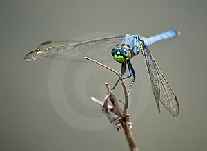 Blue Dragonfly Insect On Wood Branch Royalty Free Stock Images - Image: 6229569