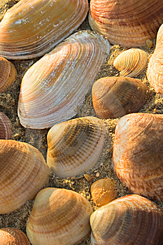 Golden Seashells Stock Photos - Image: 6239743