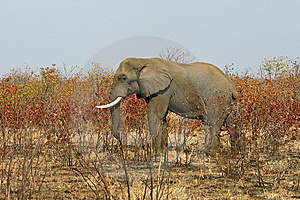African Elephant In The Bush Royalty Free Stock Photo - Image: 6248065