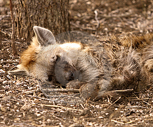 Sleeping Hyena Royalty Free Stock Photos - Image: 6248298