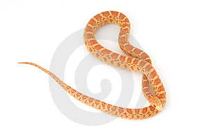 Albino Gopher Snake Royalty Free Stock Photo - Image: 6257065