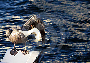Pelican Grooming Stock Images - Image: 6264624