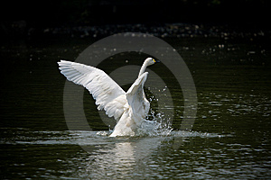 Swan Stock Photos - Image: 6269073
