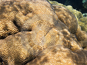 Brain Coral Royalty Free Stock Images - Image: 6271179